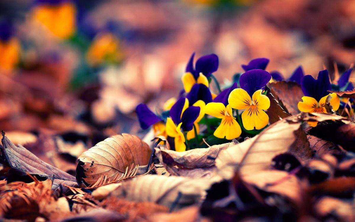 Фото бесплатно осень, цветы, сад - на рабочий стол