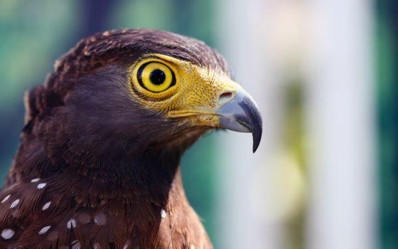 Фото бесплатно Ястреб, взгляд, клюв, птицы, природа, животные, ястребы