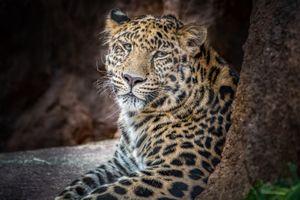 Старый леопард