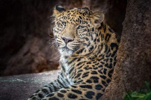 Old Leopard - free photo