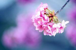 Фото бесплатно цветы, цветущие ветви, флора