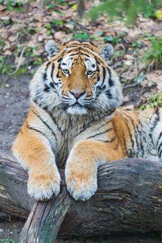 Заставки фон, поза, тигровые тигры