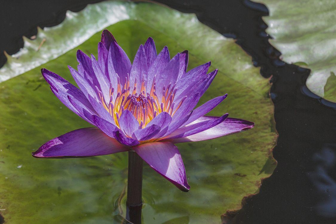 Фото бесплатно водоём, цветы, водяная лилия - на рабочий стол