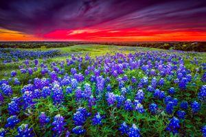 Бесплатные фото закат,поле,цветы,цветочное поле,цветение,люпин,пейзаж
