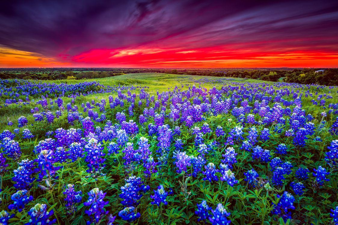 Фото бесплатно люпин, поле, цветы - на рабочий стол