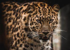 Красивый леопард