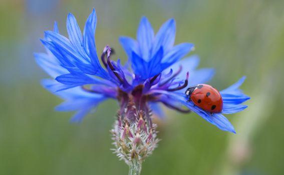 Фото бесплатно цветок, макро, василёк