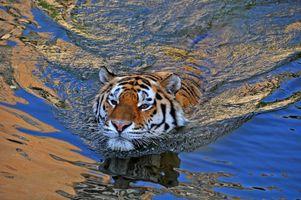 Бесплатные фото Красиво плывет в полосатом купальнике,тигр,хищник,вода,водоём,животное
