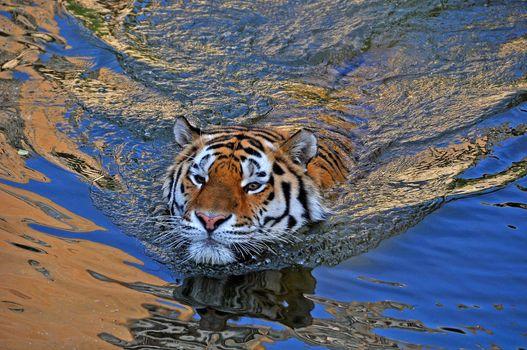 Заставки Красиво плывет в полосатом купальнике, тигр, хищник