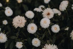 Фото бесплатно белые астры, флора, размытые