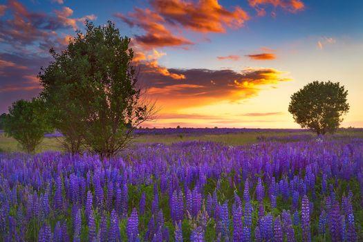 Бесплатные фото закат,поле,деревья,цветы,люпин,природа,пейзаж