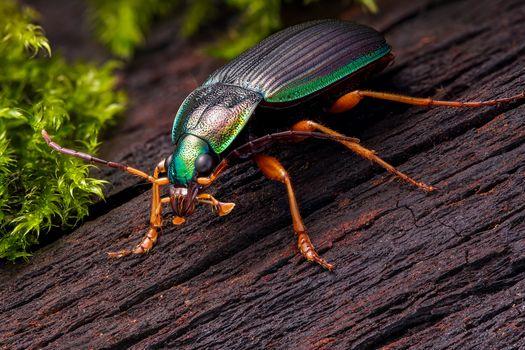 Бесплатные фото Chlaenius,слизнееды,Очень красочный жук-карабид из саванновых лесов Натитингу,Западная Африка