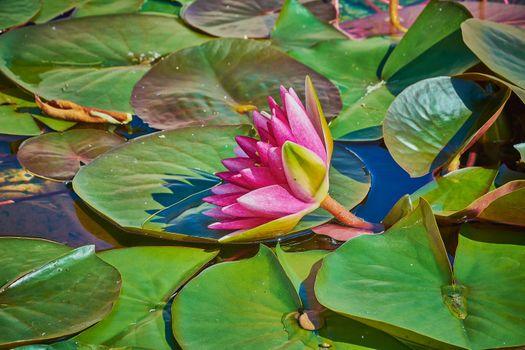 Фото бесплатно фиолетовый, пруд, водяная лилия