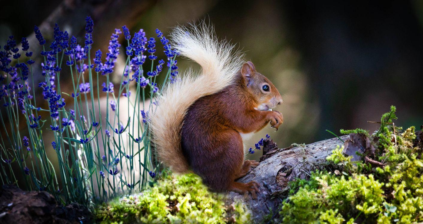 Фото бесплатно белка, Red Squirrel, wood, Scotland, животные