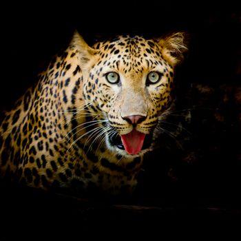 Заставка на телефон портрет леопарда, леопард