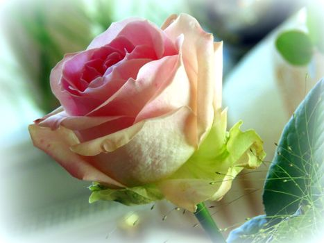 Photo free white rose, lonely rose, rose