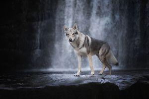 Волчья собака у водопада