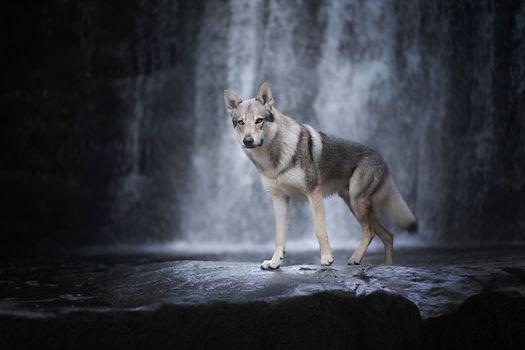 Wolf dog near the waterfall · free photo