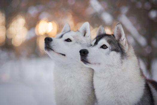 Two beautiful husky · free photo