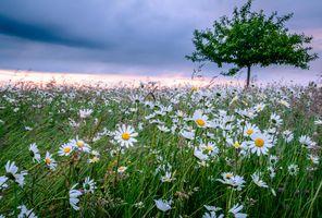 Бесплатные фото закат,поле,цветы,ромашки,природа,флора,пейзаж