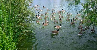 Бесплатные фото пруд,водоём,гуси,водоплавающие,птицы,ветки,камышь