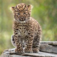 Мир леопардов