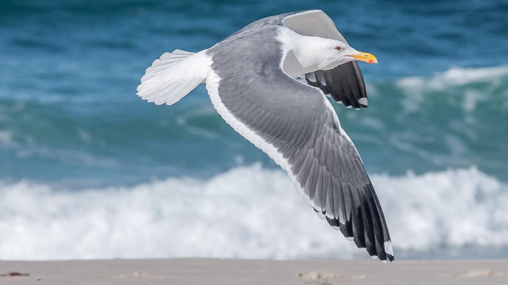 фото морская чайка в полете высокого качества