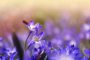 Фото бесплатно цветы, божья коровка, насекомое, макро, весна, цветение