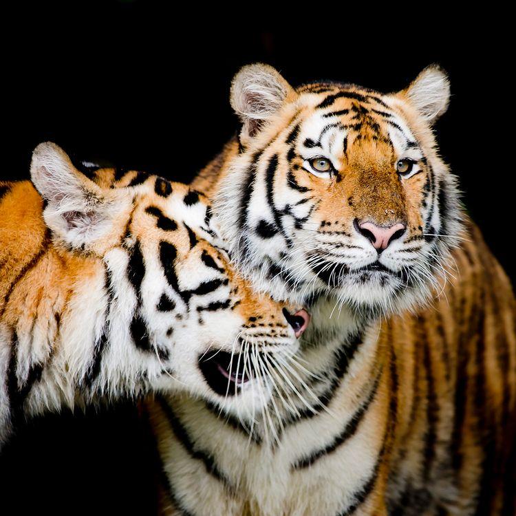 Обои хищник, семейный кот, тигр картинки на телефон