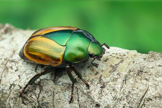 Бесплатные фото Macraspis festiva,Жёлто-зелёный жук Macraspis sp,Rutelinae,перуанская Амазонка