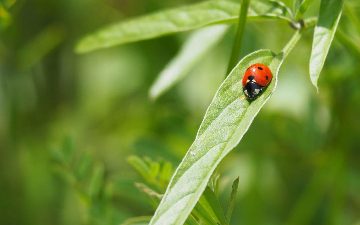 Фото бесплатно растение, божья коровка, насекомое - на рабочий стол