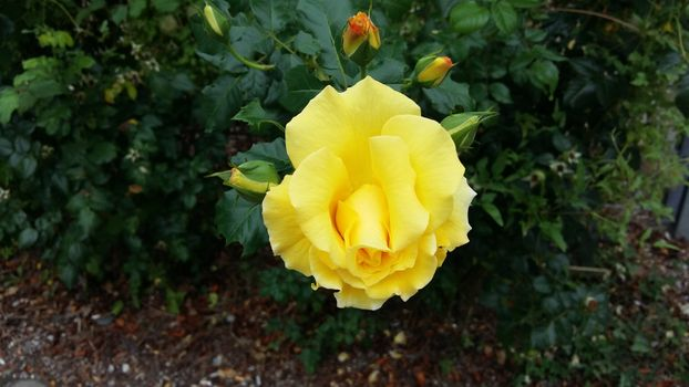 Lonely yellow rose