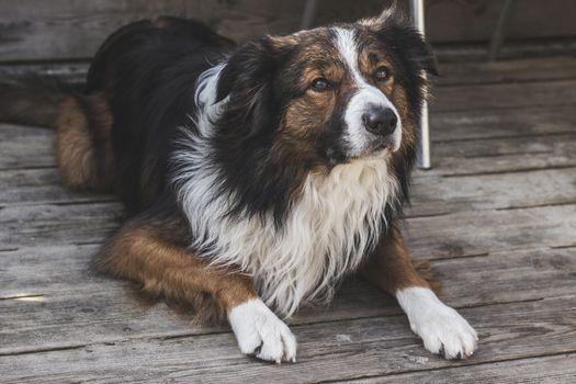 Фото бесплатно собака, лежа, милый