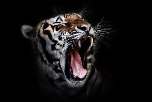 Фото бесплатно тигр, клыки, морда