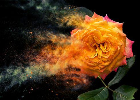 Фото бесплатно цветок, роза, пыльца, вылет, розы, цветы, цветочная композиция, флора, чёрный фон