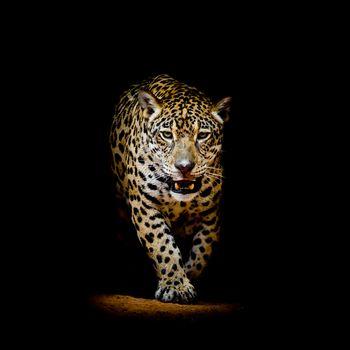Фото хищник, портрет леопарда смотреть бесплатно
