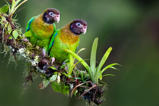 Photo free Pyrilia haematotis, parrots, parrot