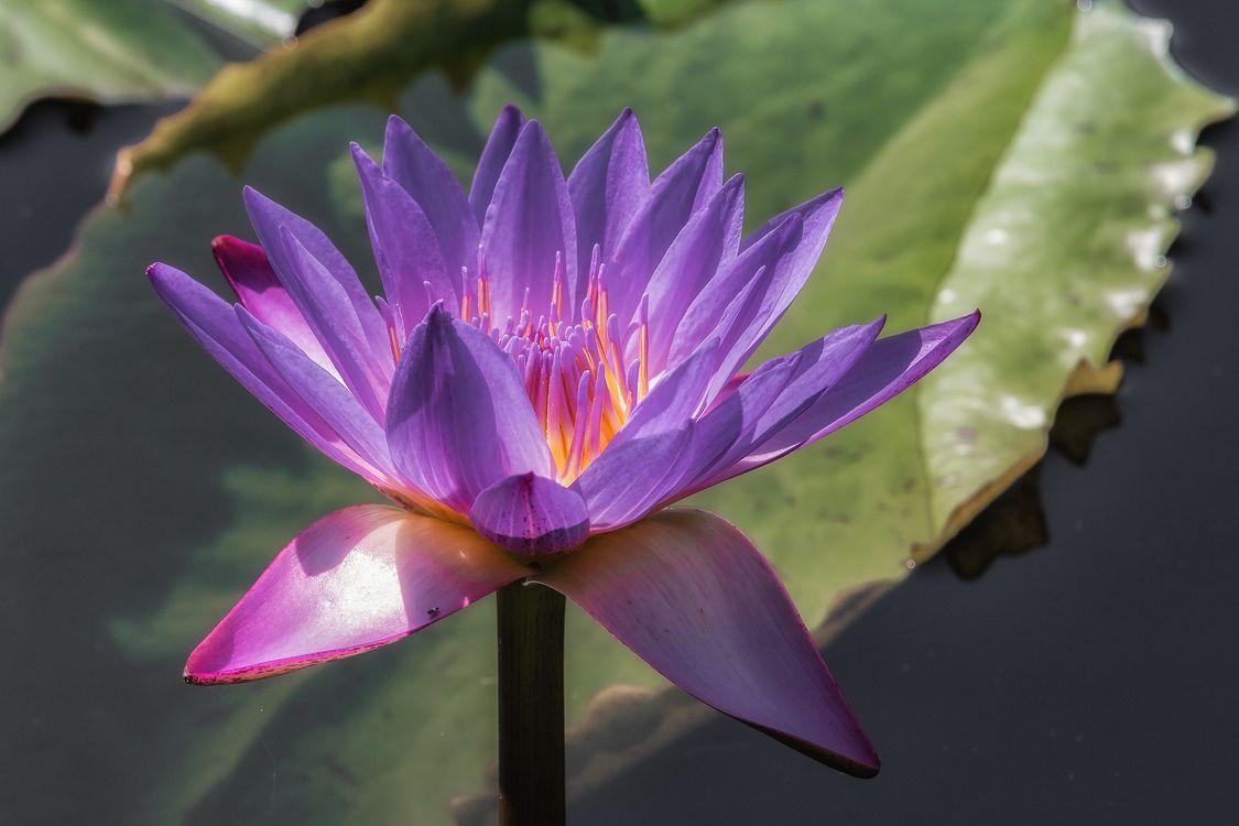 Фото бесплатно водоём, цветы, водяная лилия, цветок, водяные лилии, флора, цветы - скачать на рабочий стол
