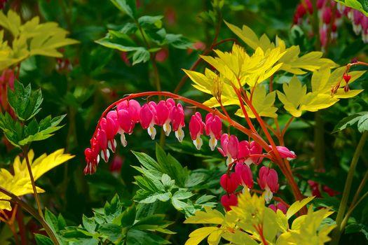 Бесплатные фото Дицентра,разбитое сердце,растение,цветы,флора