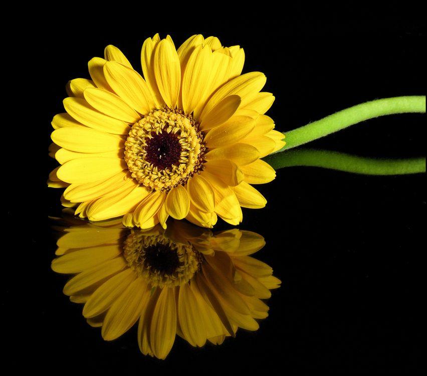 Фото бесплатно флоры, черный фон, гербер - на рабочий стол