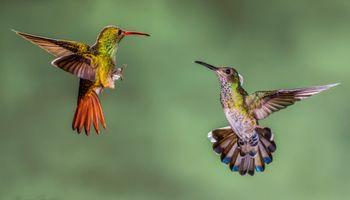 Фото бесплатно колибри, макро, hummingbirds