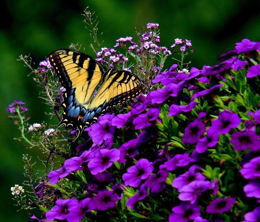 Фото бесплатно Tiger Swallowtail, бабочка, цветы - на рабочий стол