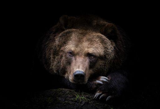Photo free Kamchatka bear, carnivore, brown bear