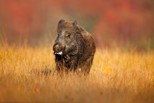 Photo free boar, meadow, grass
