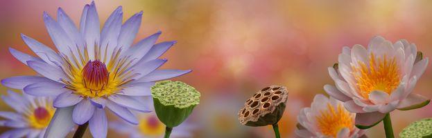 Красивый фон из цветков лотоса