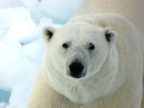 Заставки Белый медведь, мило, хищник