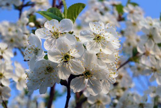 Photo free flowers, spring, Apple tree