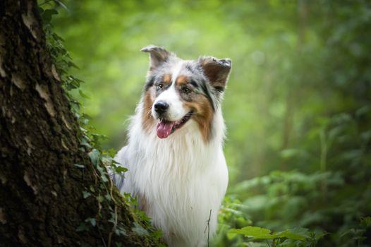 Photo free photograph, dog, Australian Shepherd