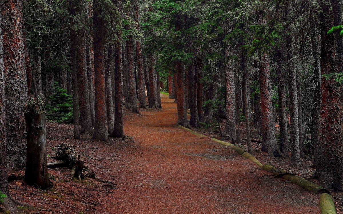 Фото бесплатно ели, лес, пейзаж, дорога, деревья, природа - скачать на рабочий стол