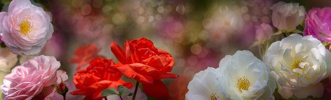 Фото бесплатно панорама, флора, роза